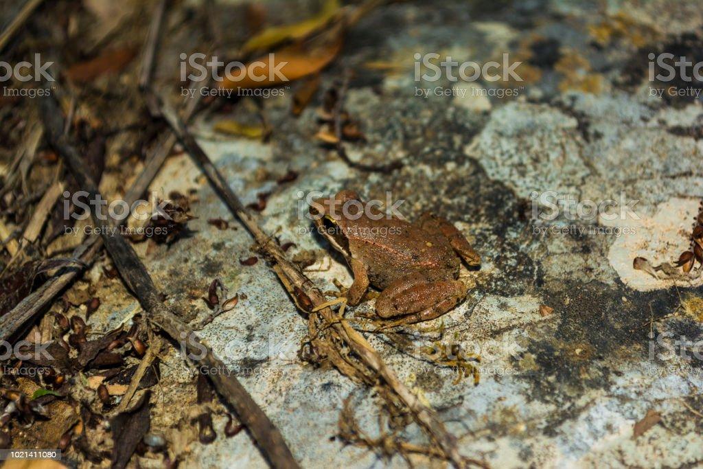 Braun Frosch sitzt auf einem Felsen – Foto