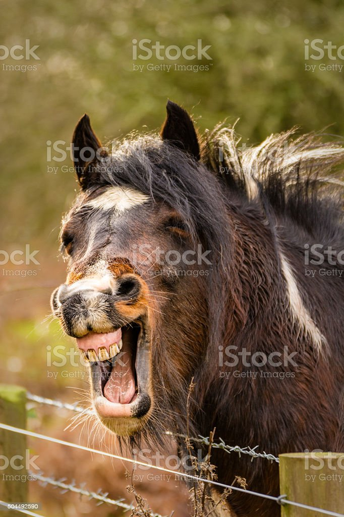 Brown Funny Looking Horse Laughing With Teeth Out Stock Photo Download Image Now Istock