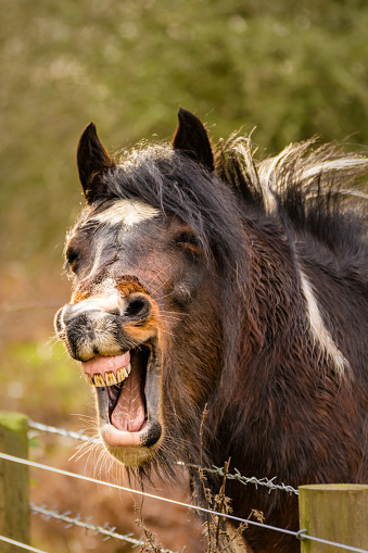Brown Funny Looking Horse Laughing With Teeth Out Stock