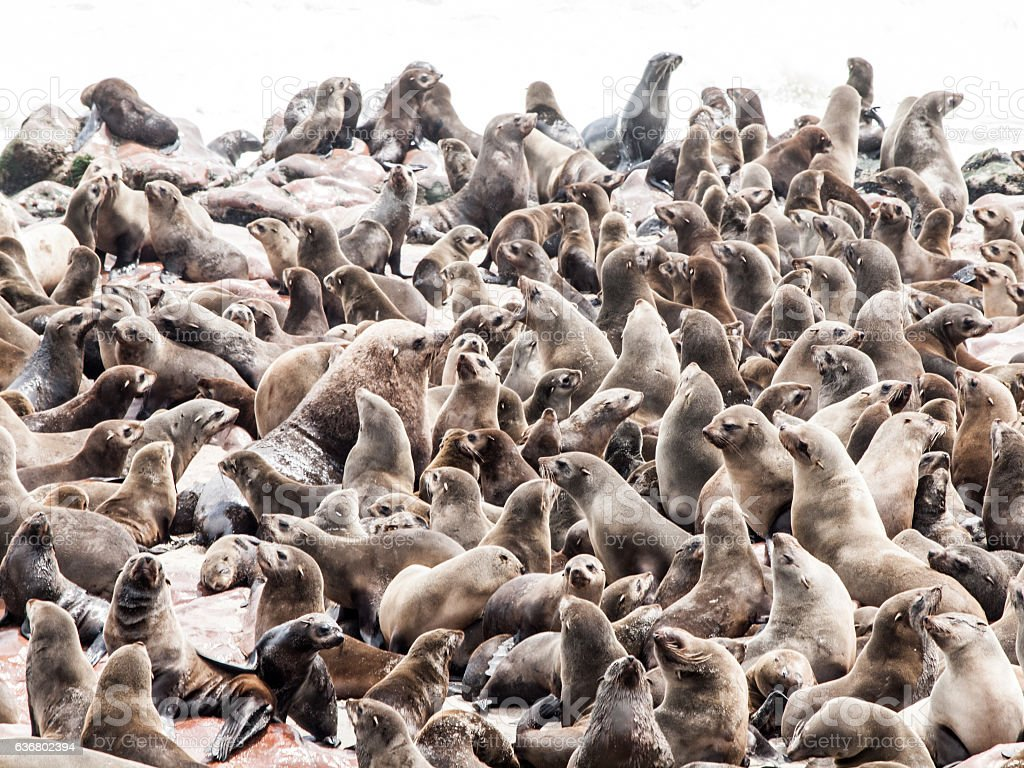Brown fur seal, Arctocephalus pusillus, colony at Cape Cross in stock photo