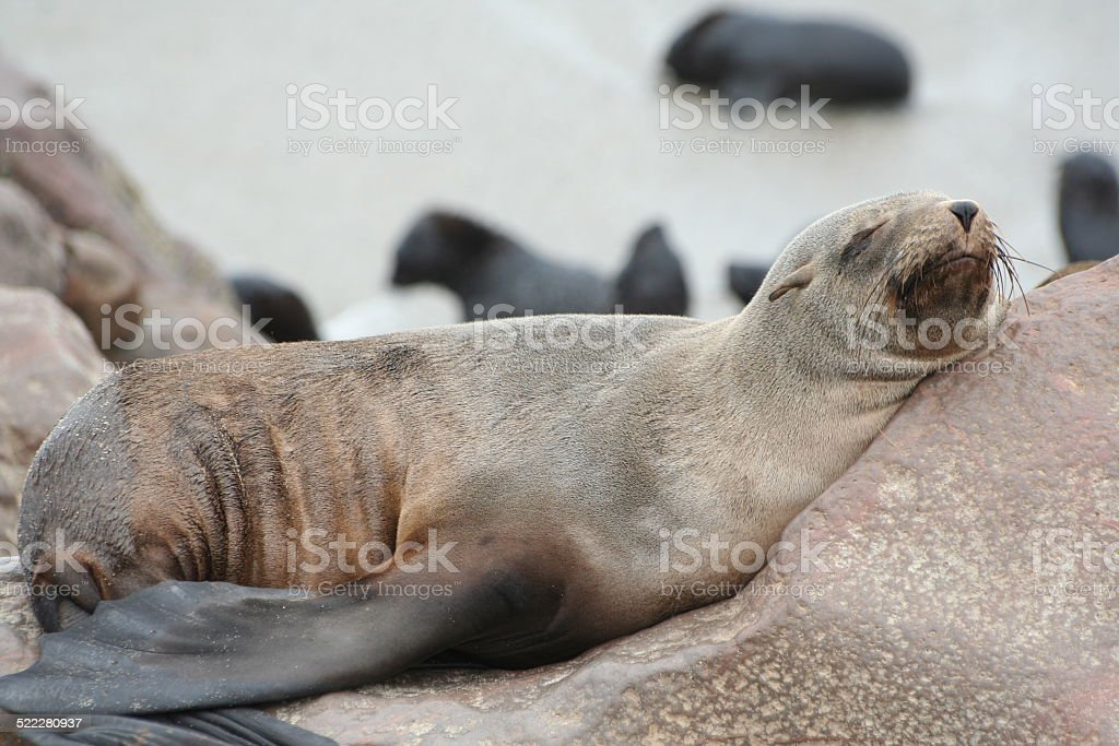 Brown Fur Seal at Cape Cross, Skeleton Coast, Namibia, Africa stock photo