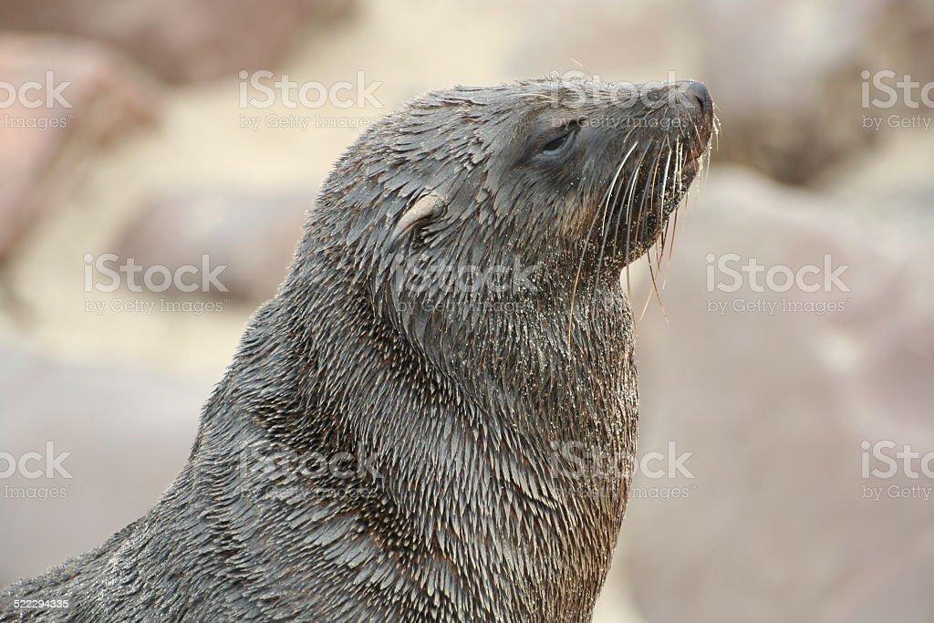 Brown Fur Seal at Cape Cross, Skeleton Coast, Namibia, Africa stock photo