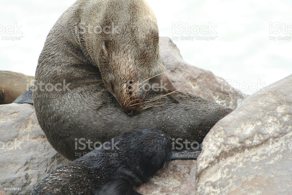 Brown Fur Seal Mother and Baby, Cape Cross, Namibia stock photo