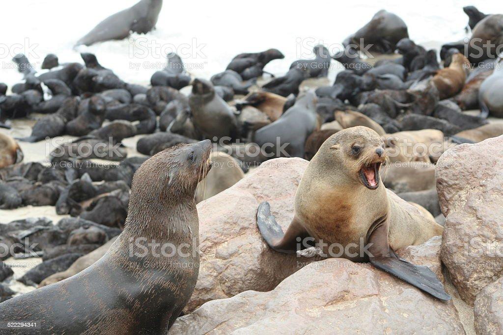 Brown Fur Seals at Cape Cross, Skeleton Coast, Namibia, Africa stock photo