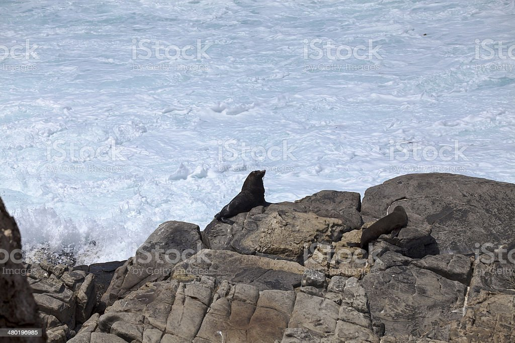 Brown fur seals stock photo