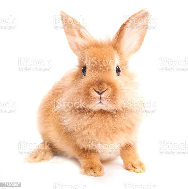 Brown furry haired rabbit against a white background picture id178500897?b=1&k=6&m=178500897&s=612x612&h= uruyejejmwj3a9yx jjnnvmbzs3dhjqo 9bruursve=