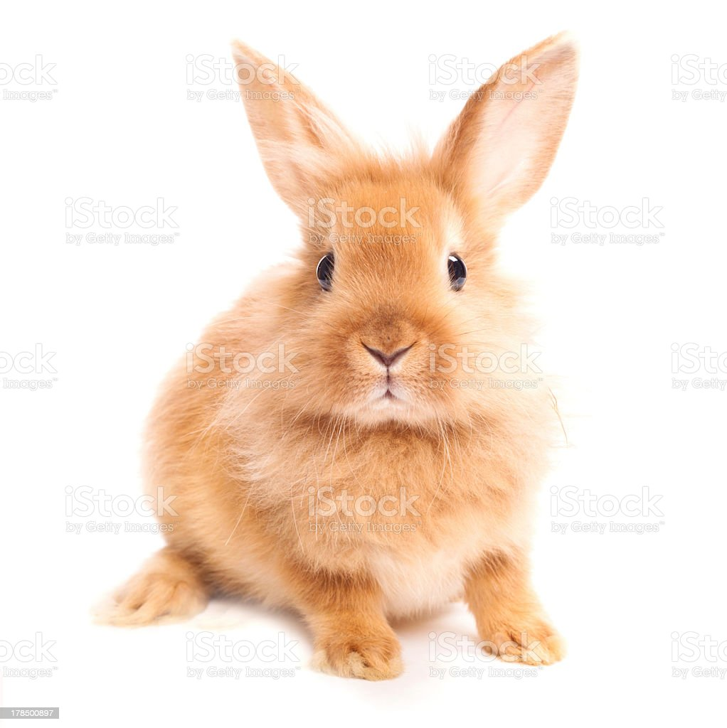 A brown furry haired rabbit against a white background stock photo