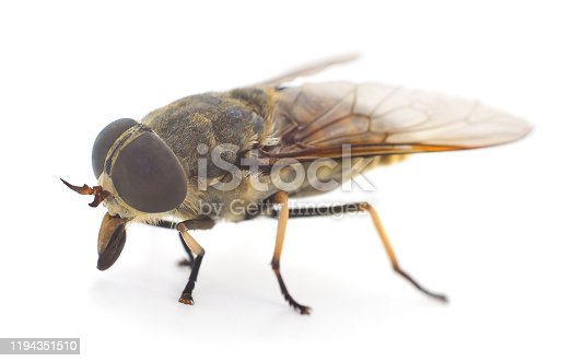 Large brown gadfly isolated on white background.