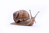 Garden snail isolated on white