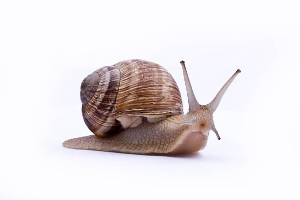 A brown garden snail on a white background stock photo