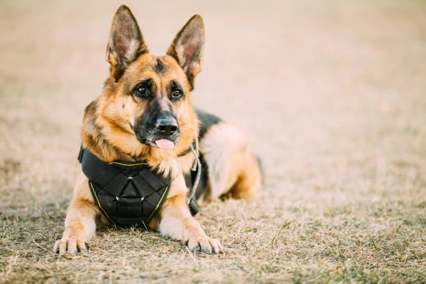 braune deutsche schäferhund elsässischen wolf hund trägt in spezielle trainingskleidung - dressierter hund stock-fotos und bilder