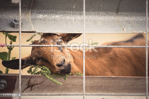 A brown goat close-up, stuck behind a wire fence with a strange and intense expression on his face. No people.