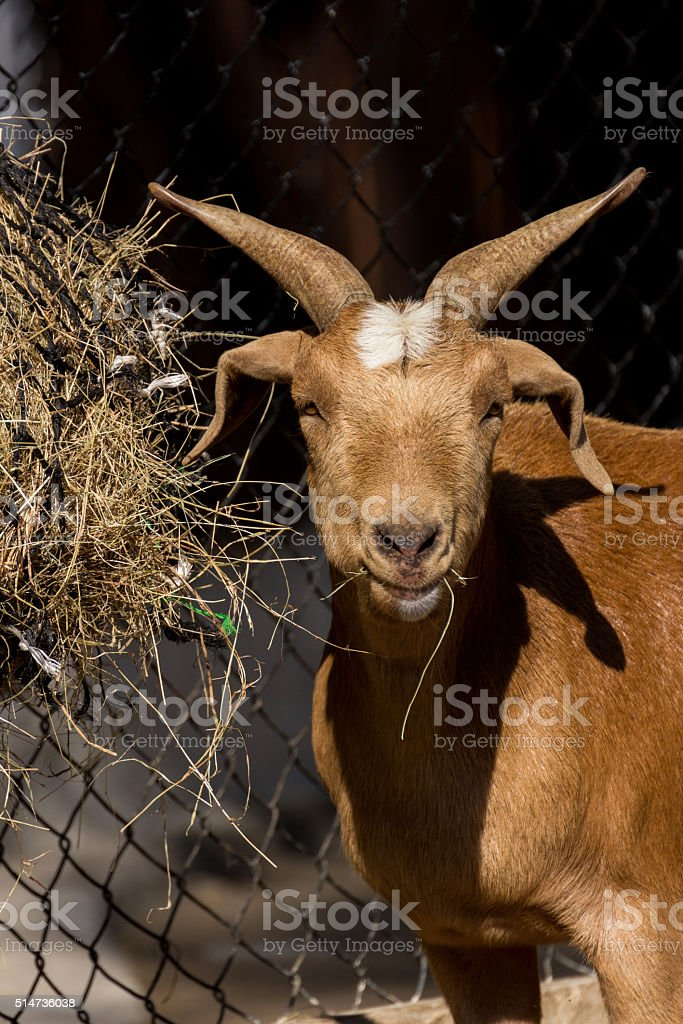 Brown goat eating hay in farm stock photo