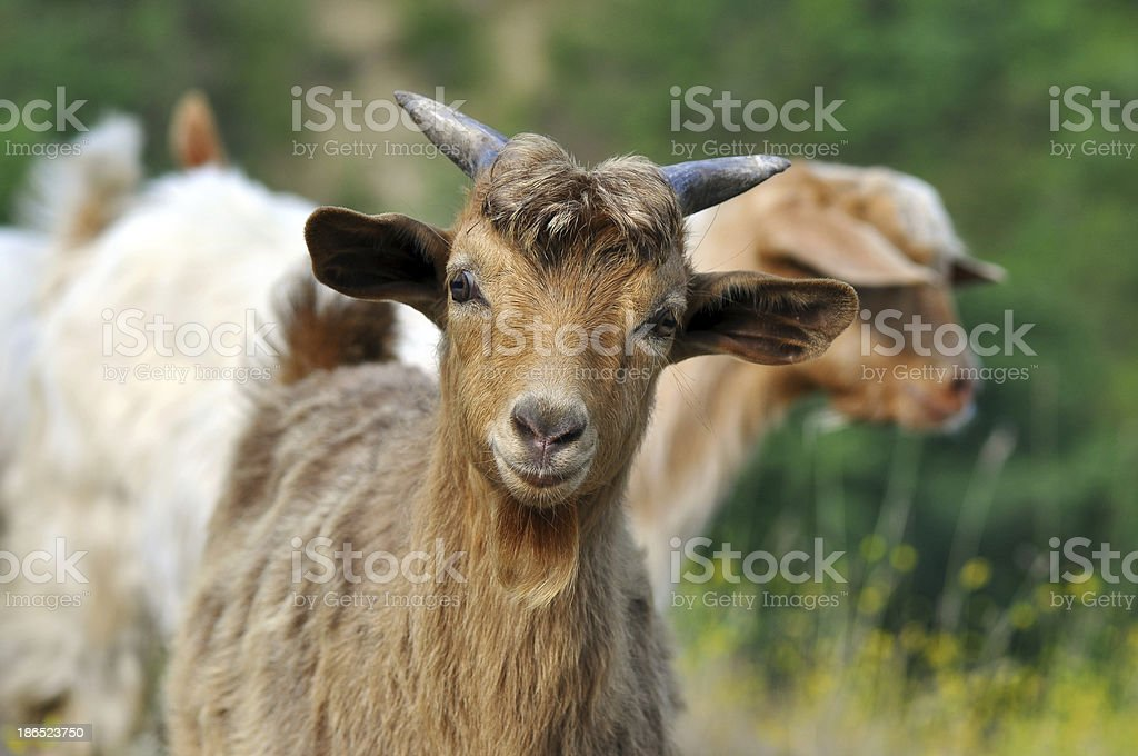 Brown goat royalty-free stock photo
