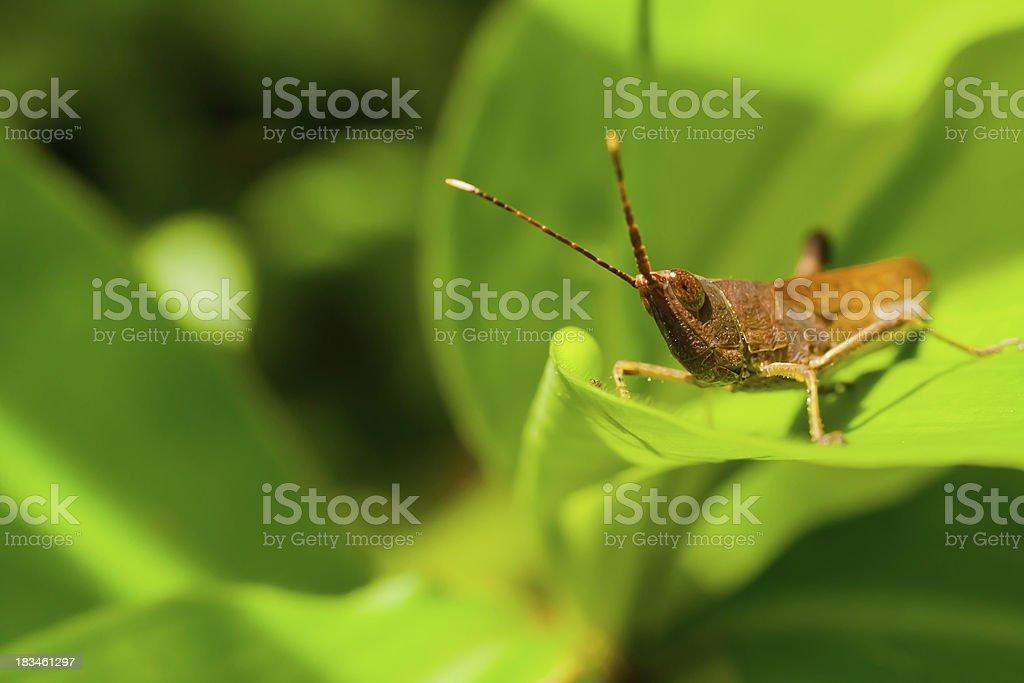 Brown grasshoppe royalty-free stock photo