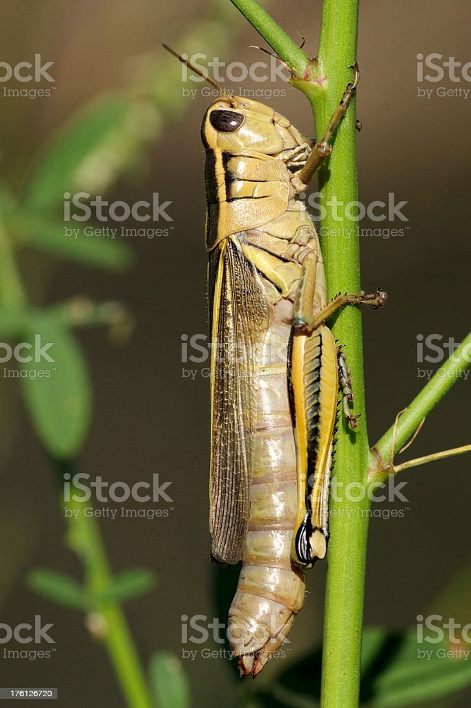 Brown Grasshopper Hidding on Stem or Stalk royalty-free stock photo