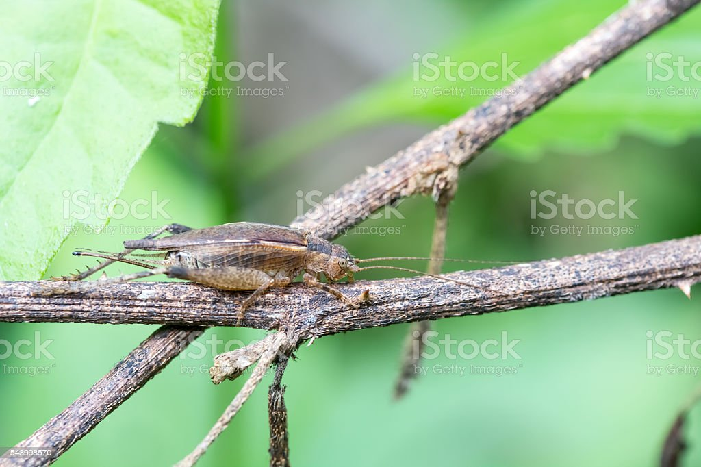 Brown grasshopper perched on a tree branch. stock photo