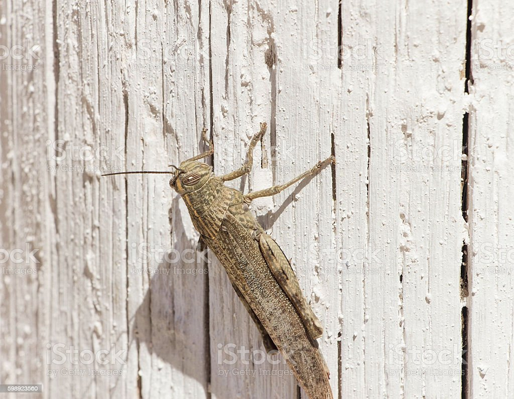 brown grasshopper sits on a wooden surface stock photo