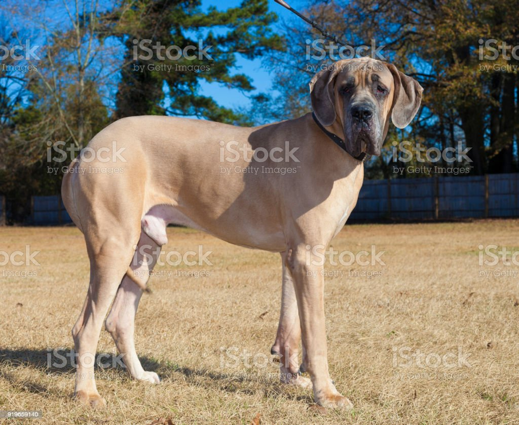 Braune Dogge reinrassige – Foto