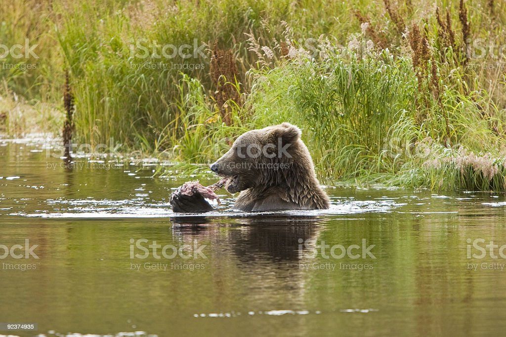 Brown Grizzly Bear Essen Lachs aus Alaska Lizenzfreies stock-foto