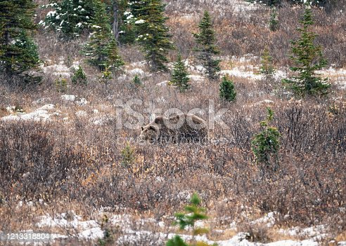 istock Brown Grizzly bear fluffy on wilderness in national park 1213318804