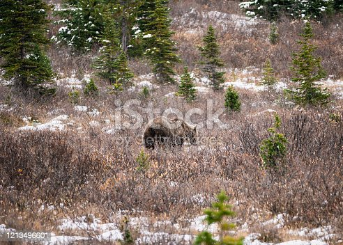istock Brown Grizzly bear fluffy on wilderness in national park 1213496601