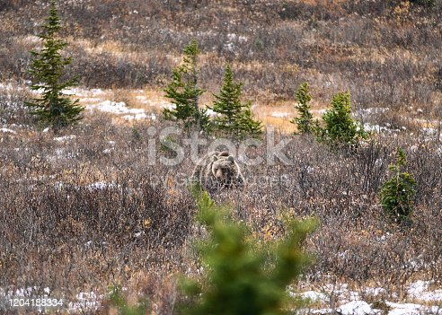 istock Brown Grizzly bear on meadow in national park 1204188334