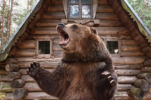 Brown grizzly bear widely open mouth near a wooden house. collage