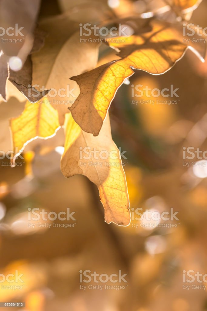 Brown Gum Tree Leaves shining in the sunlight, Cape Town, South Africa photo libre de droits