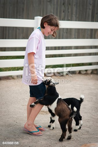 Brown haired Caucasian girl 11 years old laughs as a black and white goat bites her pink tshirt on a sunny day, Indiana, Midwest, USA