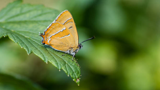 Brown Hairstreak, the male, on the blackcurrent leaf stock photo