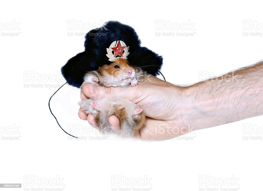 Brown hamster in Russian national traditional fur hat stock photo