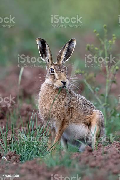 Brown hare lepus europaeus picture id479863958?b=1&k=6&m=479863958&s=612x612&h=ljrxvdsqrvnvuguwjvfpbky 73npvk5o s yw4auzx0=