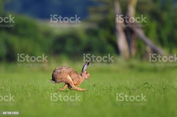 Brown hare running picture id487881903?b=1&k=6&m=487881903&s=612x612&h=rvrdwgpfhsvt6pxh64xz9lhdbgsvg9qpc9u0bdguc2e=