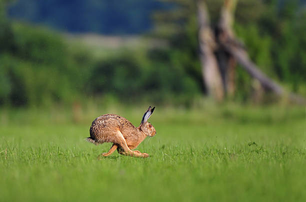 Brown hare running stock photo