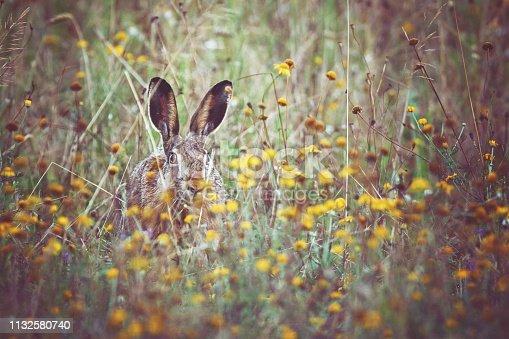 Eastern jackrabbit [Lepus europaeus] sits on the flowering spring meadow