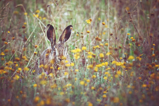a brown hare sits on the spring meadow - buona pasqua in tedesco foto e immagini stock