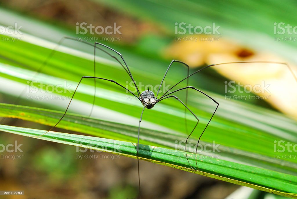 Brown harvestman (Daddy Longlegs) relaxing on leaf stock photo