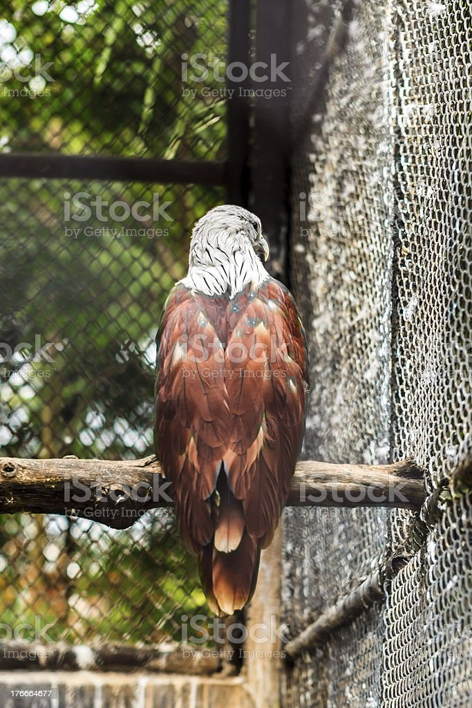 Brown hawk white head royalty-free stock photo