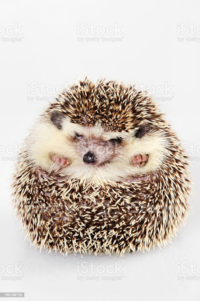 Brown hedgehog curled into a ball stock photo