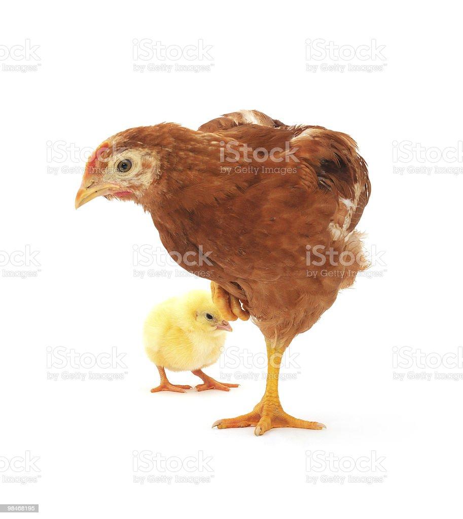 Gallina marrone e chick foto stock royalty-free
