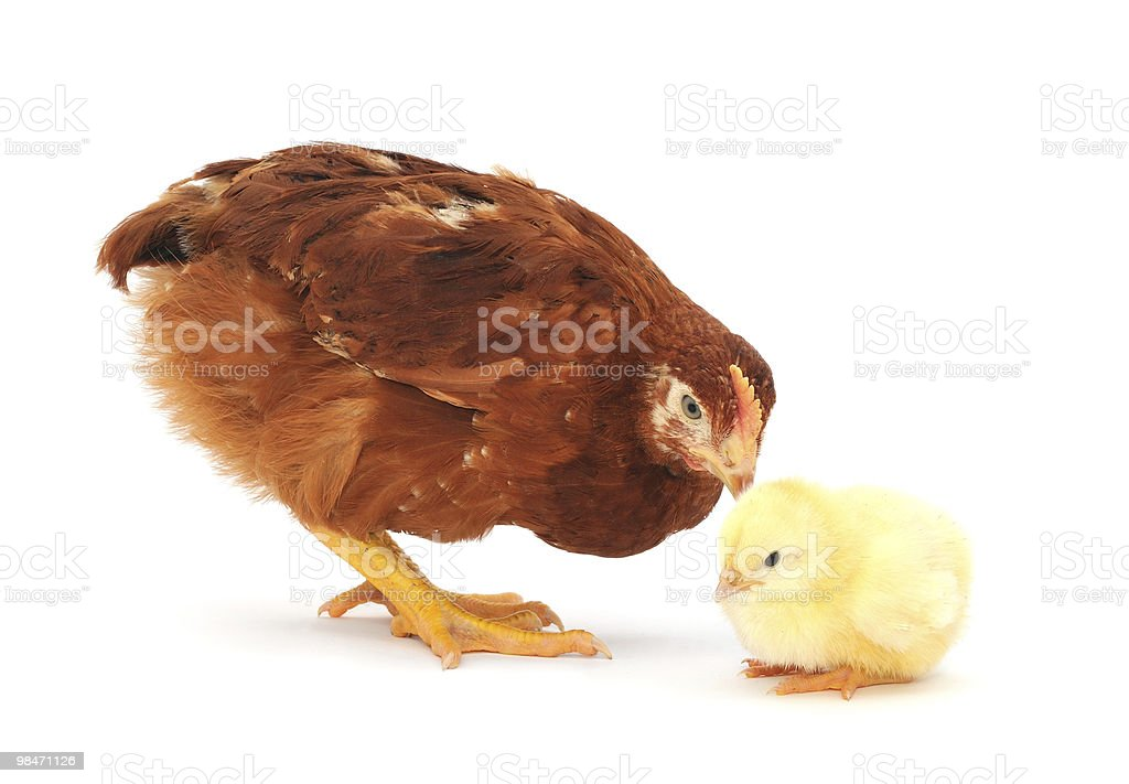 Brown hen and chick royalty-free stock photo