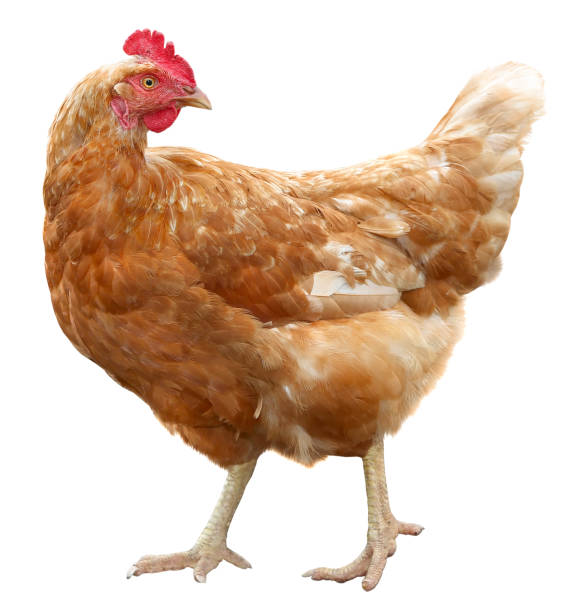 Brown hen isolated on white background stock photo