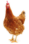 istock Brown hen isolated. 1098271230