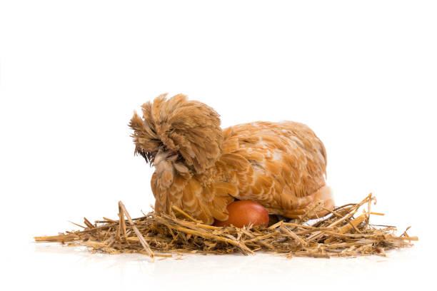 Braune Henne auf weißem Hintergrund mit Ei – Foto
