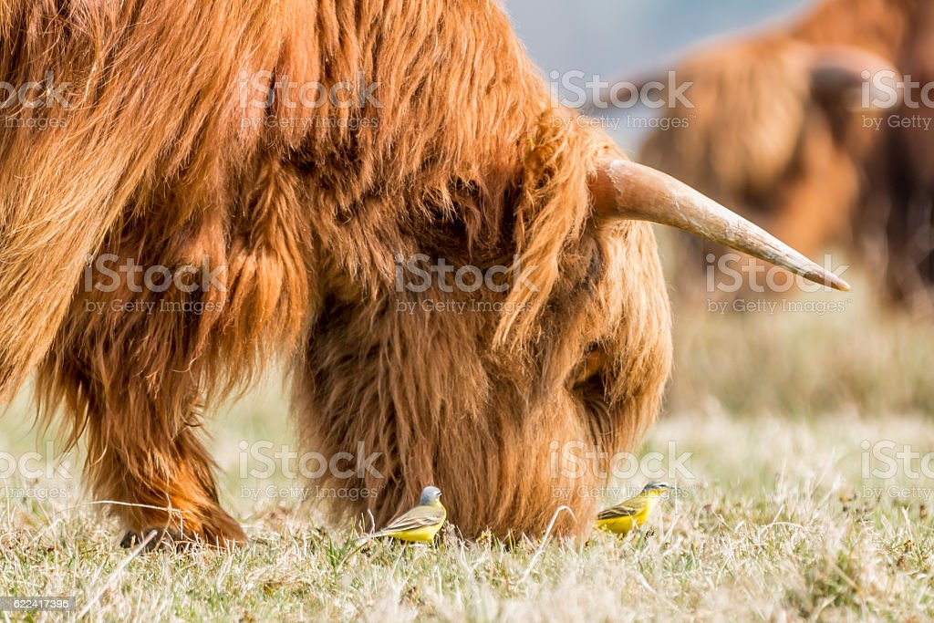 brown Highland Cow eating gras, being watched by great tits stock photo