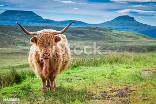 Brown highland cow, green field and blue sky, Scotland