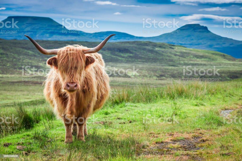 Vache highland brune, domaine vert et bleu ciel, Écosse - Photo