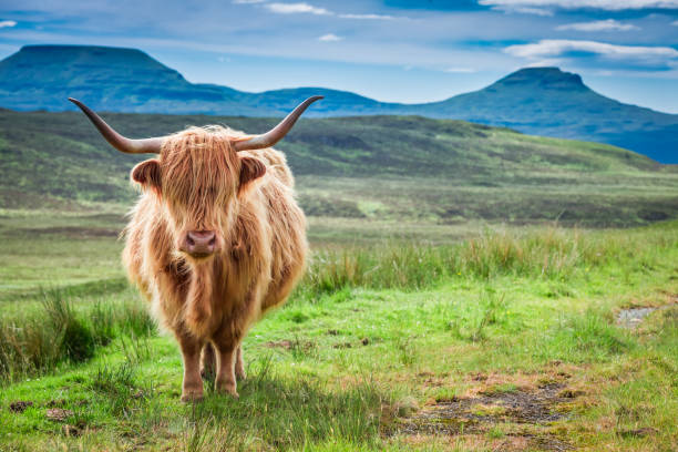 Brown highland cow, green field and blue sky, Scotland Brown highland cow, green field and blue sky, Scotland scottish highlands stock pictures, royalty-free photos & images