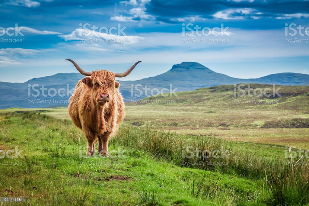 Brown highland cow in Isle of Skye, Scotland stock photo